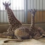 В зоопарке Алматы родился жираф