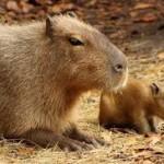 В зоопарке Алматы появился на свет детеныш крупнейшего в мире грызуна